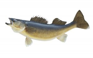 Walleye are the most common freshwater game fish.