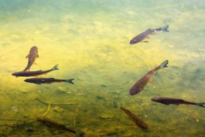 trout fish in the lake with wonderful lighting on the water