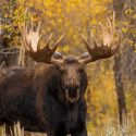 What Do You Need to Do to Prepare for the 2020 Moose Hunting Season?